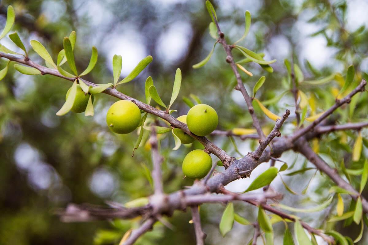 Owoce arganowca